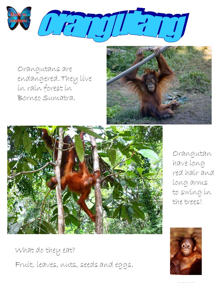 Orangutans are endangered. They live in rain forest in Borneo Sumatra.
