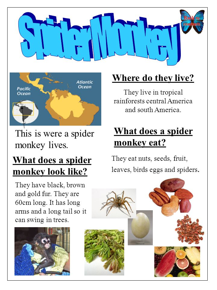 Back to contents Back to contents Where do they live? They live in tropical rainforests central America and south America. What does a spider monkey l