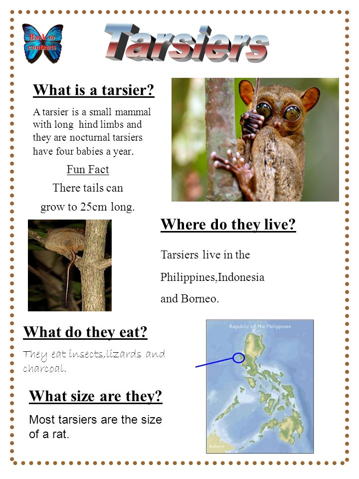 What is a tarsier.