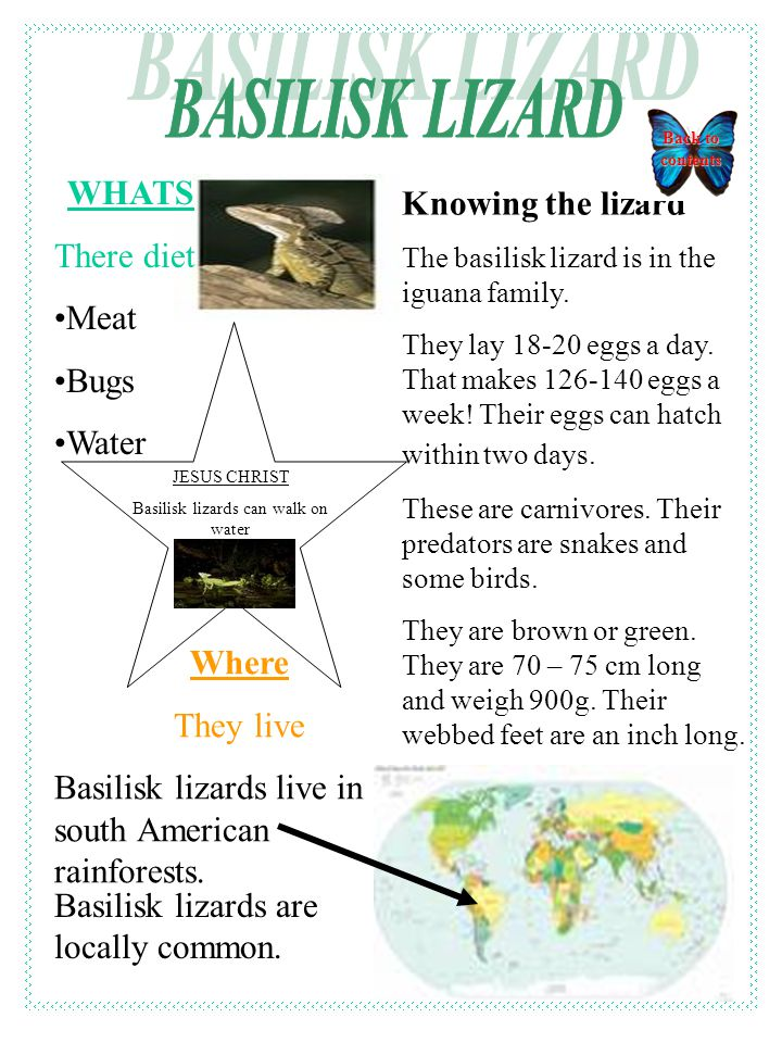 Knowing the lizard The basilisk lizard is in the iguana family.