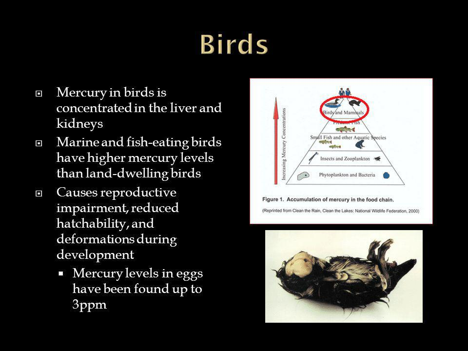  Mercury in birds is concentrated in the liver and kidneys  Marine and fish-eating birds have higher mercury levels than land-dwelling birds  Causes reproductive impairment, reduced hatchability, and deformations during development  Mercury levels in eggs have been found up to 3ppm