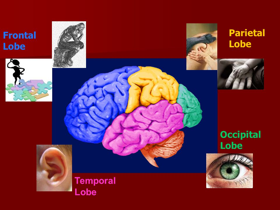 Frontal Lobe Parietal Lobe Occipital Lobe Temporal Lobe