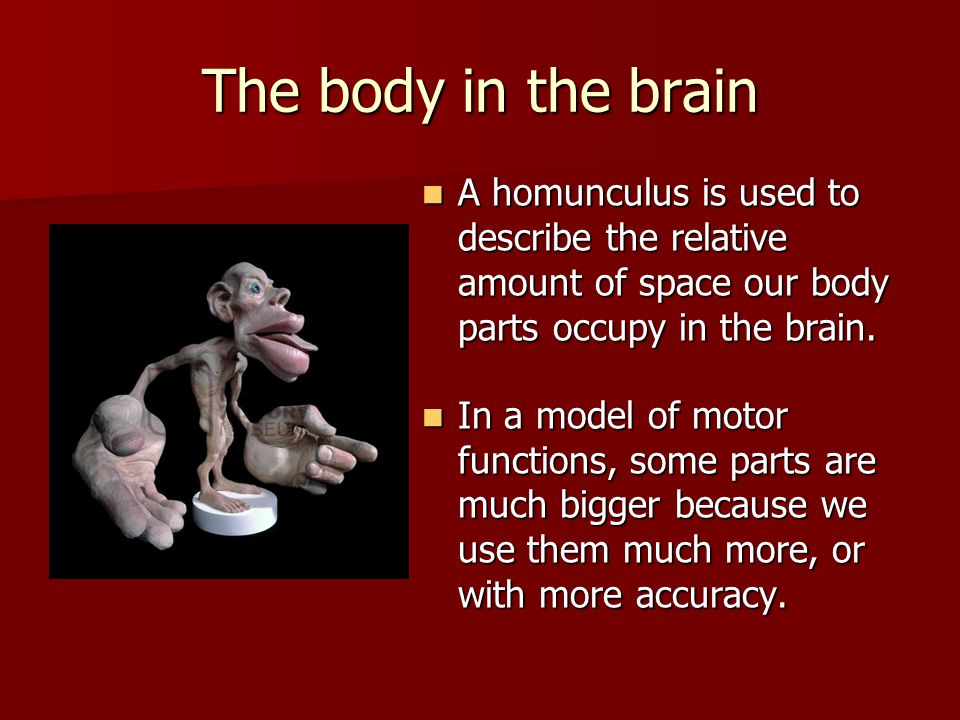 The body in the brain A homunculus is used to describe the relative amount of space our body parts occupy in the brain.