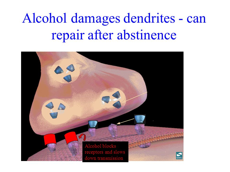 Alcohol damages dendrites - can repair after abstinence Alcohol blocks receptors and slows down transmission