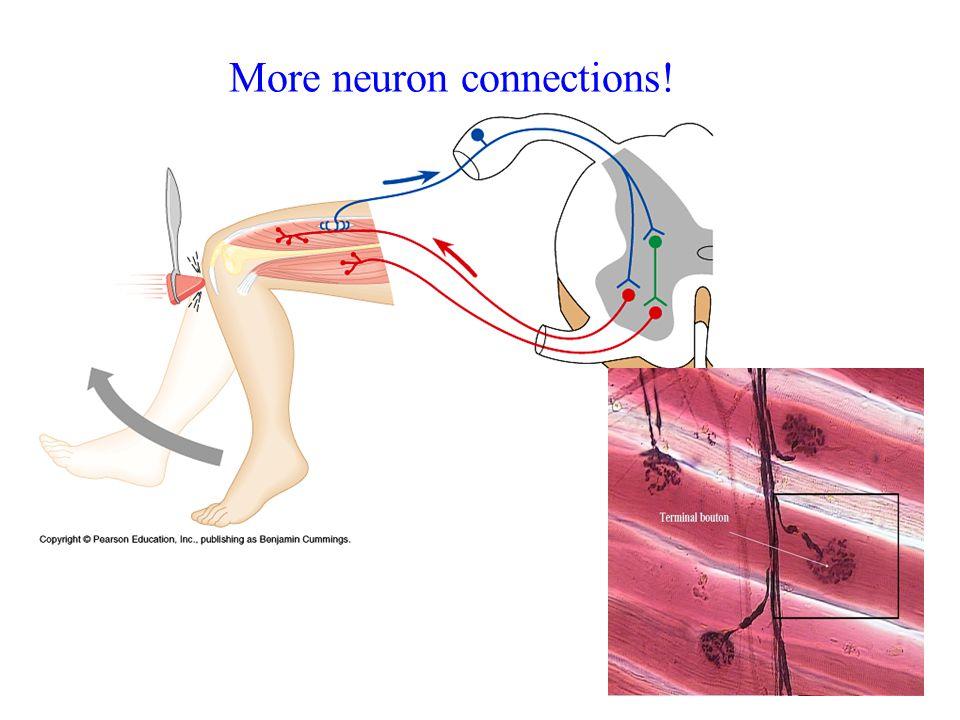 More neuron connections!
