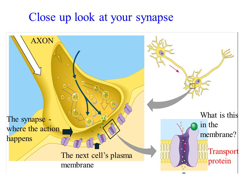 AXON The synapse - where the action happens The next cell's plasma membrane What is this in the membrane? Transport protein Close up look at your syna