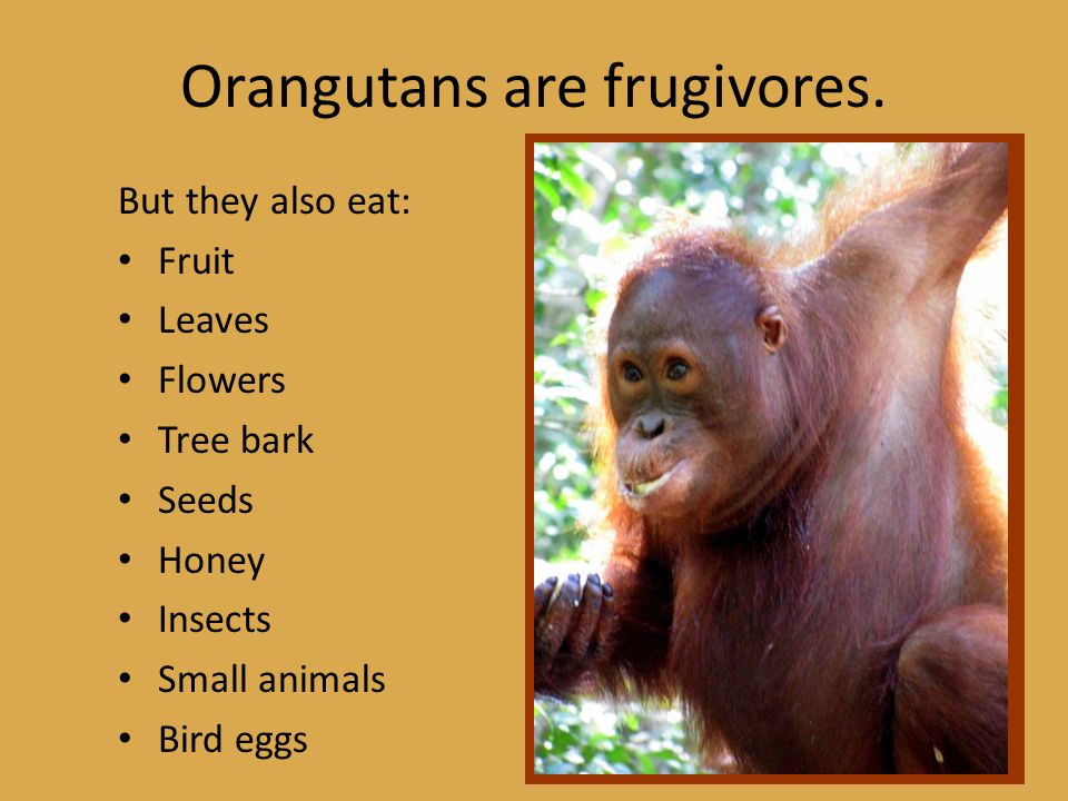 Orangutans are frugivores. But they also eat: Fruit Leaves Flowers Tree bark Seeds Honey Insects Small animals Bird eggs