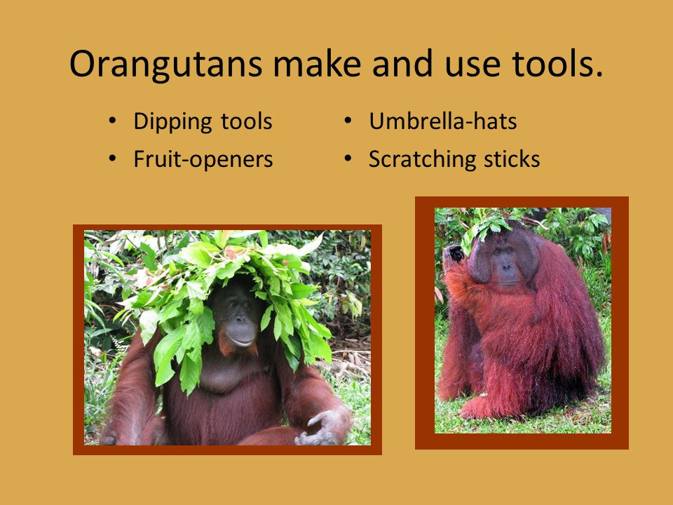 Orangutans make and use tools. Umbrella-hats Scratching sticks Dipping tools Fruit-openers