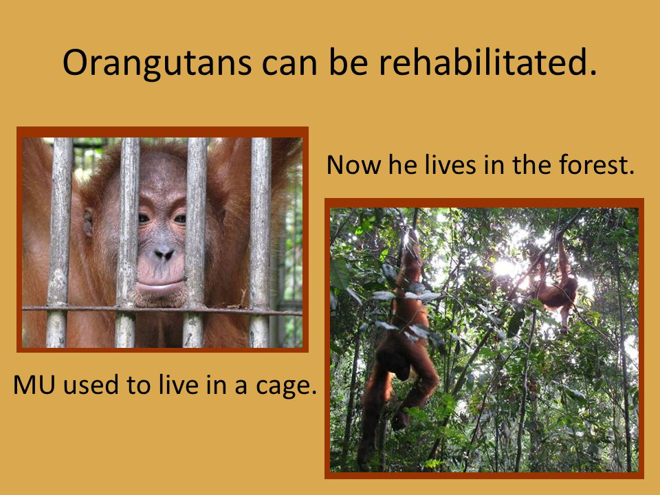 Orangutans can be rehabilitated. MU used to live in a cage. Now he lives in the forest.