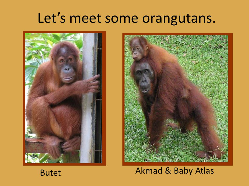 Orangutans are Great Apes.