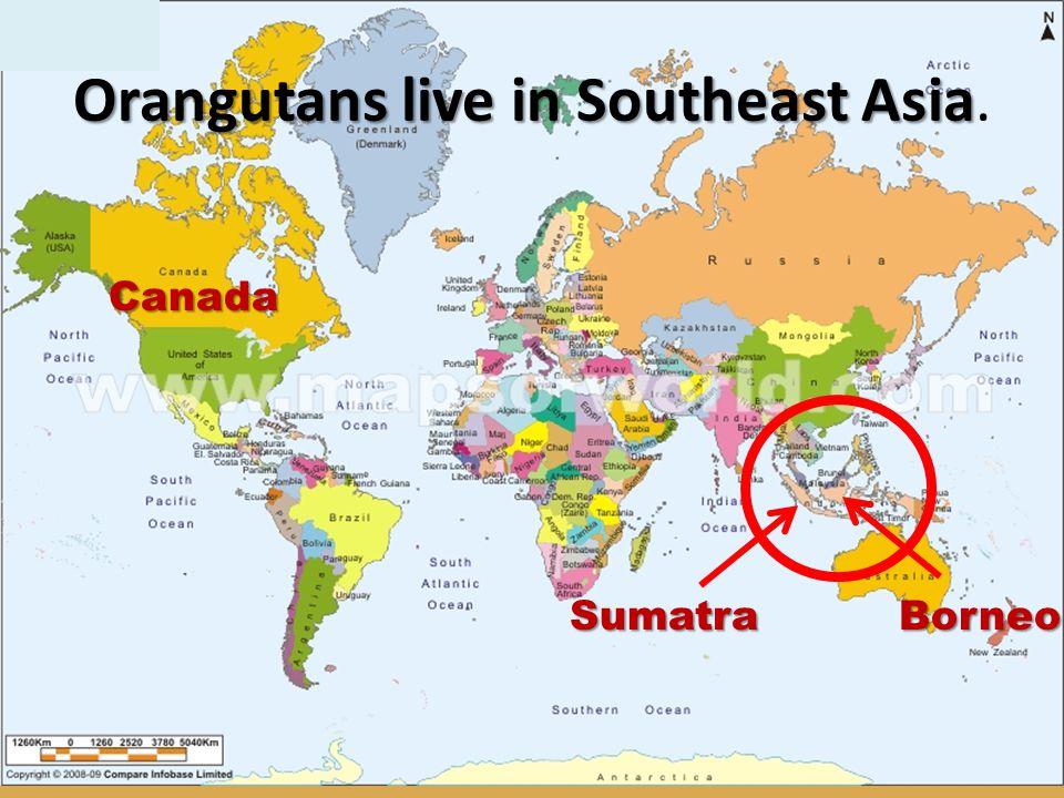 Sumatra Borneo Orangutans live in Southeast Asia Orangutans live in Southeast Asia. Canada
