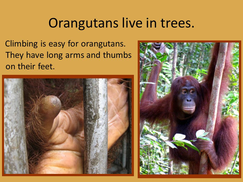 Orangutans live in trees. Climbing is easy for orangutans.
