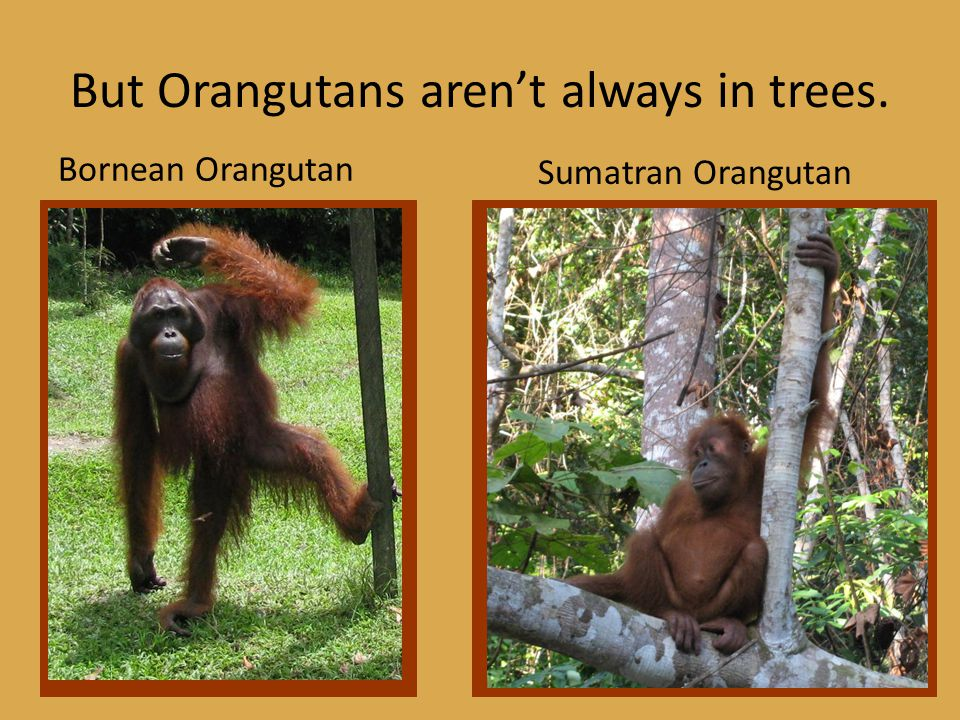 But Orangutans aren't always in trees. Bornean Orangutan Sumatran Orangutan
