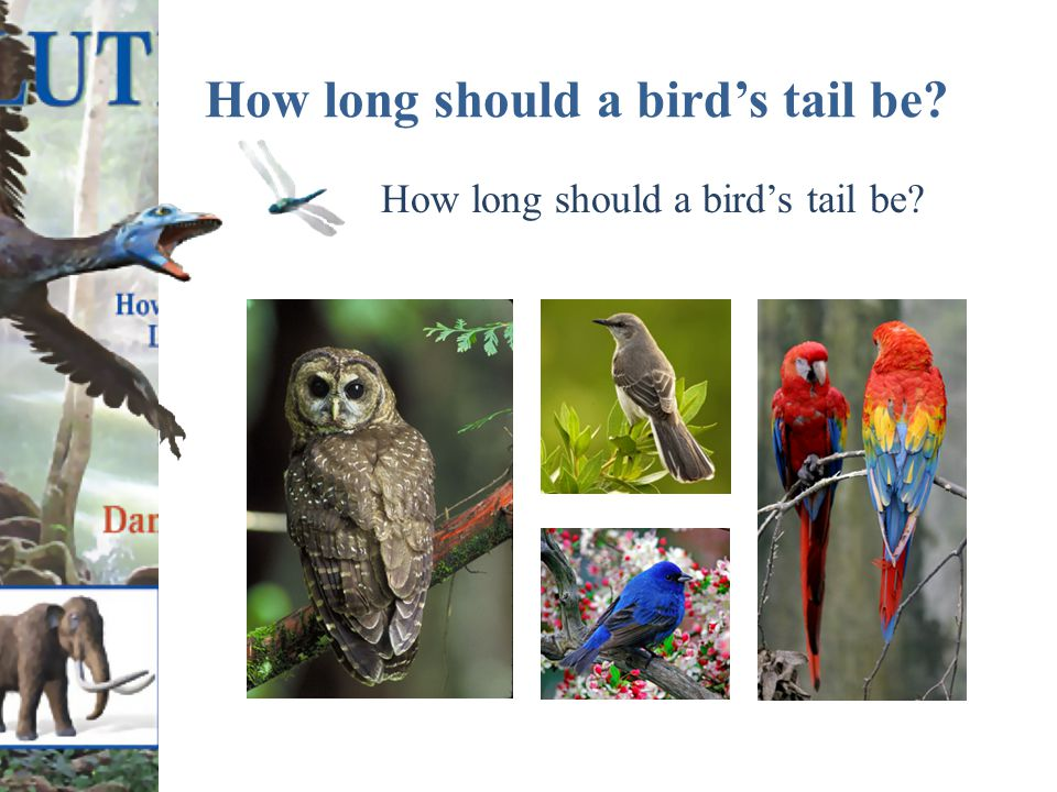 How long should a bird's tail be