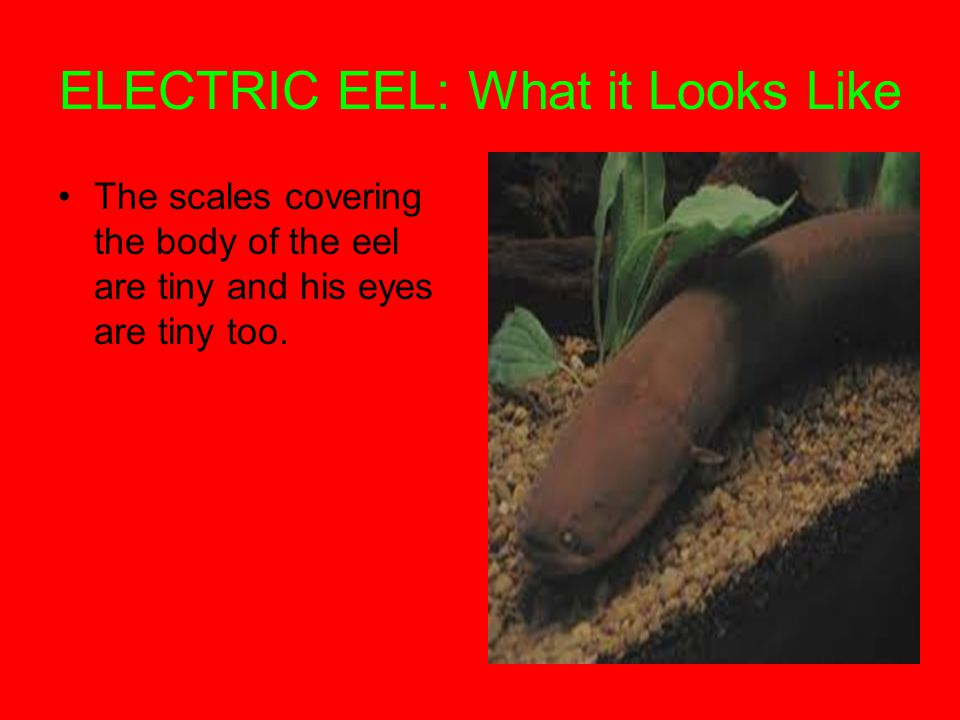 ELECTRIC EEL: What it Looks Like The scales covering the body of the eel are tiny and his eyes are tiny too.