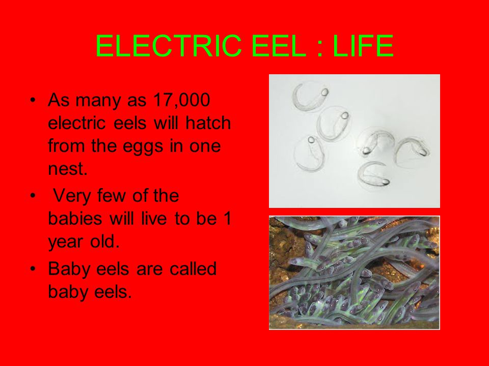 ELECTRIC EEL : LIFE As many as 17,000 electric eels will hatch from the eggs in one nest.