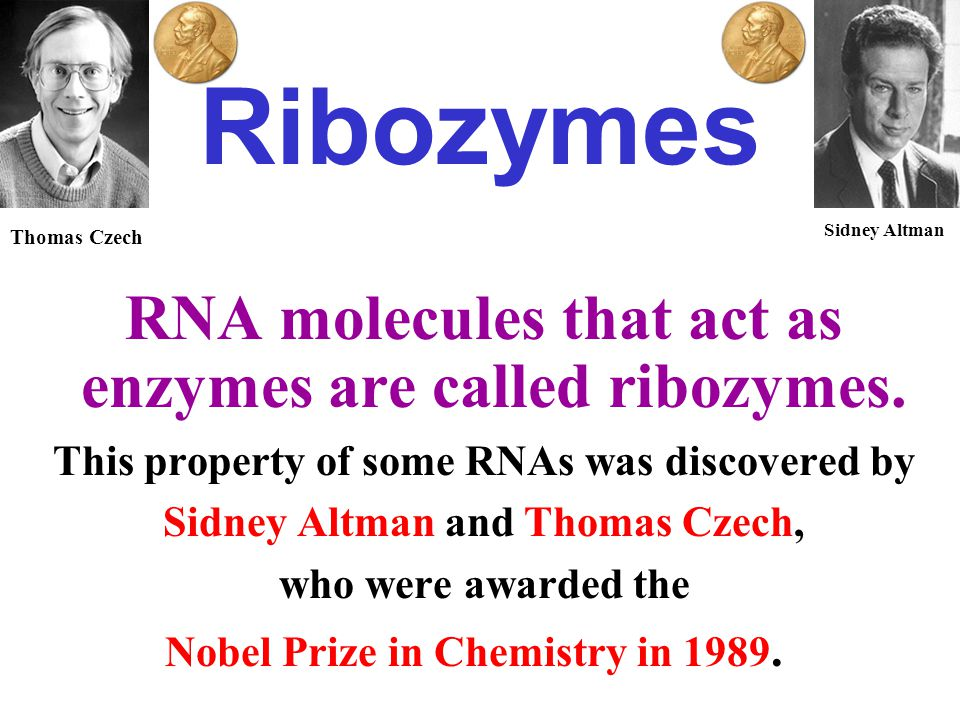 Ribozymes RNA molecules that act as enzymes are called ribozymes. This property of some RNAs was discovered by Sidney Altman and Thomas Czech, who wer