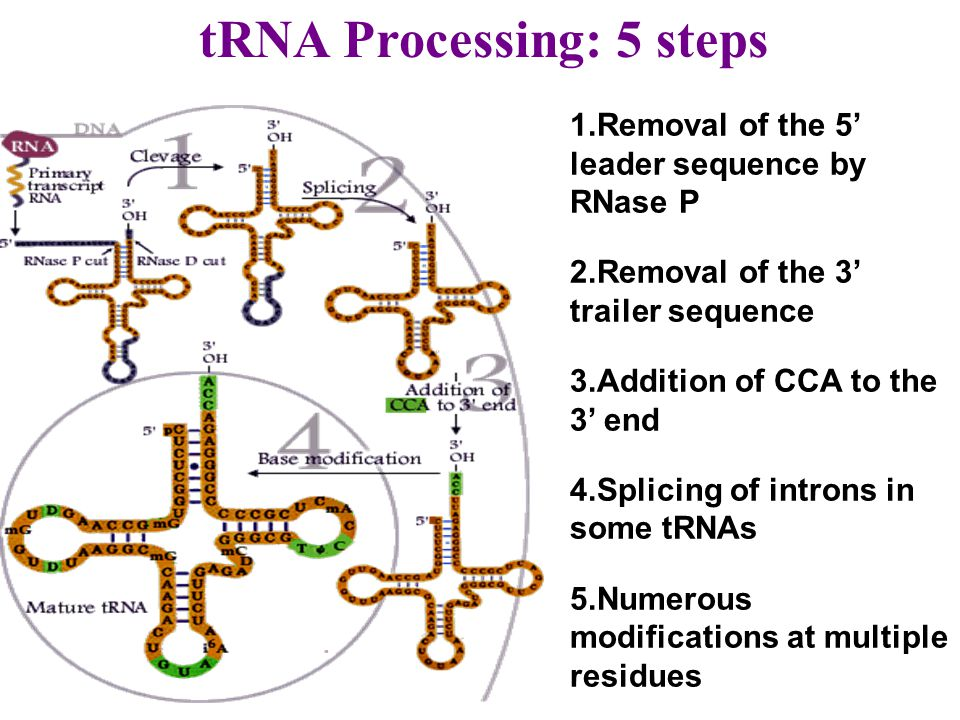 tRNA Processing: 5 steps 1. Removal of the 5' leader sequence by RNase P 2. Removal of the 3' trailer sequence 3. Addition of CCA to the 3' end 4. Spl