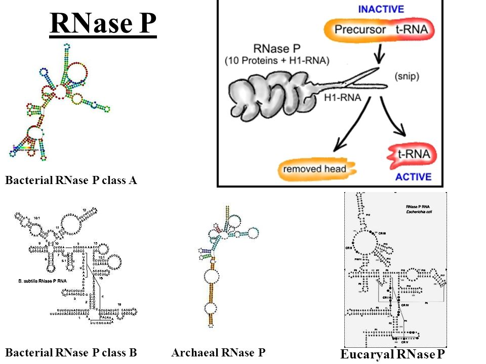 RNase P Bacterial RNase P class A Bacterial RNase P class BArchaeal RNase P Eucaryal RNase P