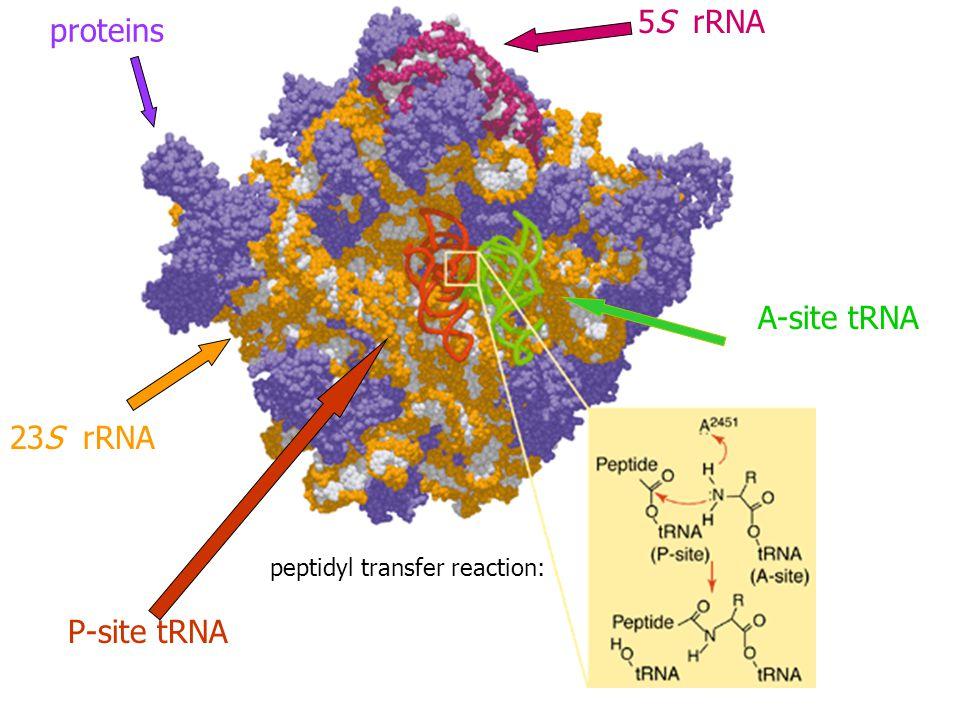 proteins 23S rRNA peptidyl transfer reaction: P-site tRNA 5S rRNA A-site tRNA