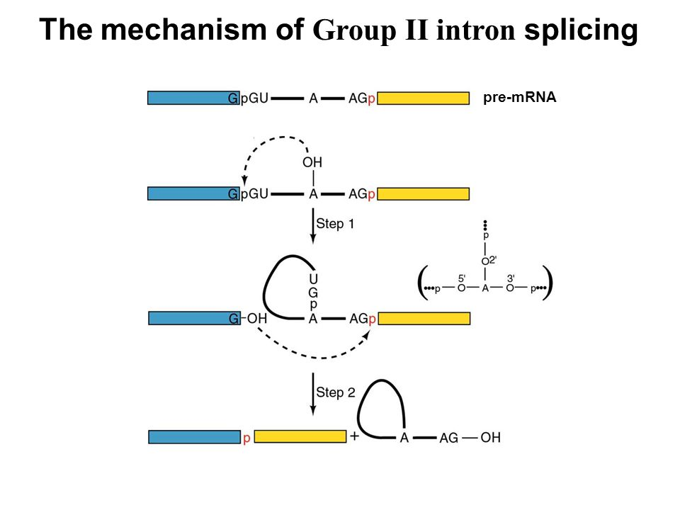 The mechanism of Group II intron splicing pre-mRNA