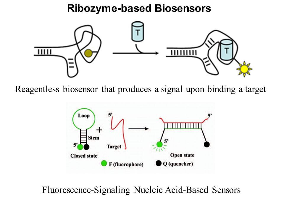 Ribozyme-based Biosensors Reagentless biosensor that produces a signal upon binding a target Fluorescence-Signaling Nucleic Acid-Based Sensors