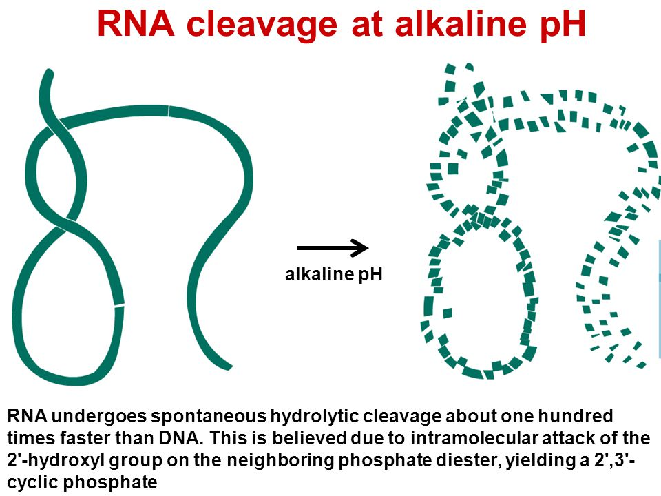 RNA cleavage at alkaline pH alkaline pH RNA undergoes spontaneous hydrolytic cleavage about one hundred times faster than DNA. This is believed due to