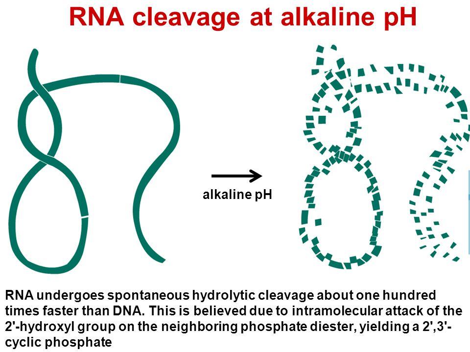 RNA cleavage: alkaline pH RNA at pH 10 Base catalysis 2' OH deprotonation Nucleophilic oxyanion RNA breaks 2',3' cyclic P base returns proton 1 3 2 4 5