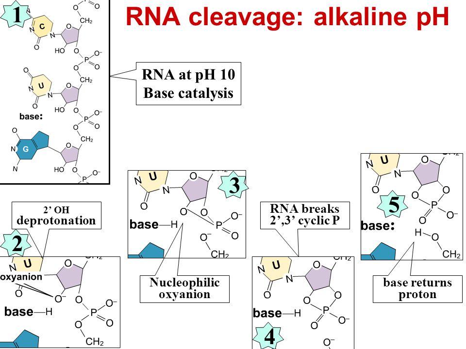 RNA cleavage: alkaline pH RNA at pH 10 Base catalysis 2' OH deprotonation Nucleophilic oxyanion RNA breaks & 2',3' cyclic P base returns proton 1 3 2 4 5