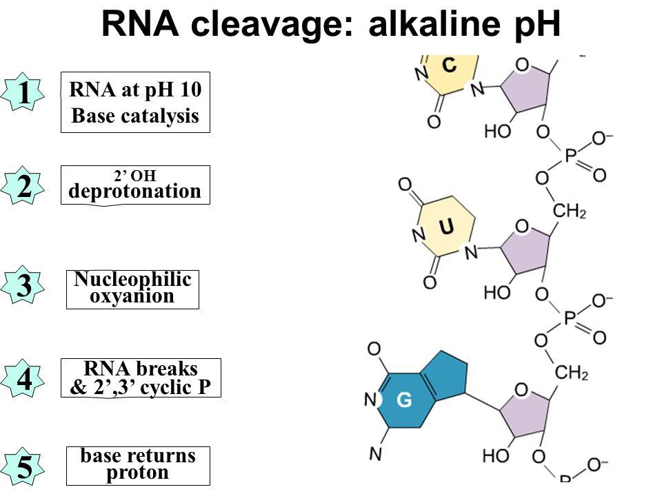 RNA cleavage: alkaline pH RNA at pH 10 Base catalysis 2' OH deprotonation Nucleophilic oxyanion RNA breaks & 2',3' cyclic P base returns proton 1 3 2