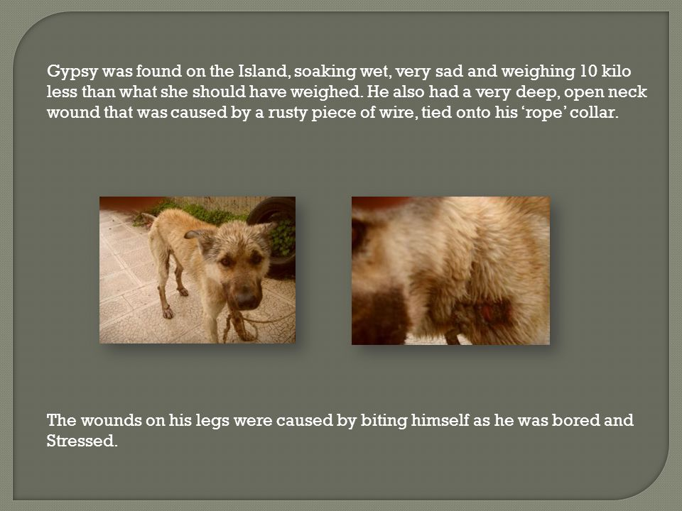 Gypsy was found on the Island, soaking wet, very sad and weighing 10 kilo less than what she should have weighed.