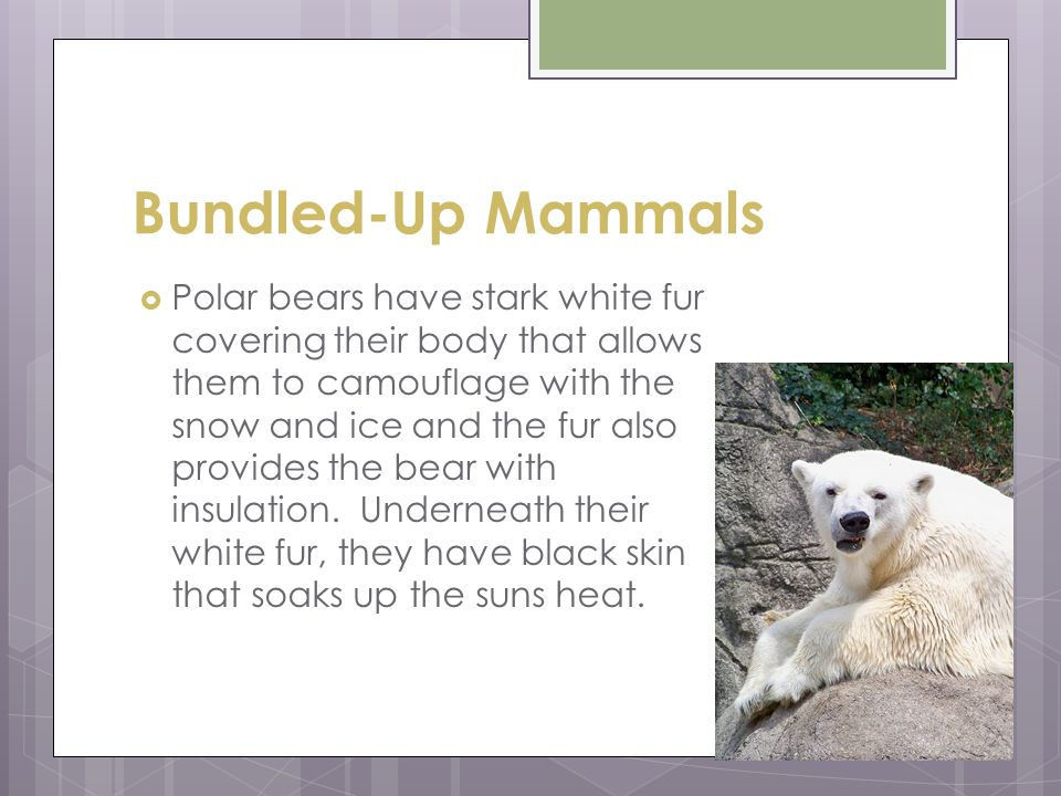 Bundled-Up Mammals  Polar bears have stark white fur covering their body that allows them to camouflage with the snow and ice and the fur also provides the bear with insulation.