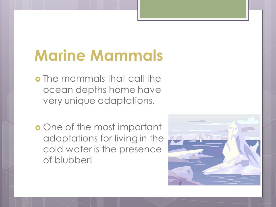 Marine Mammals  The mammals that call the ocean depths home have very unique adaptations.