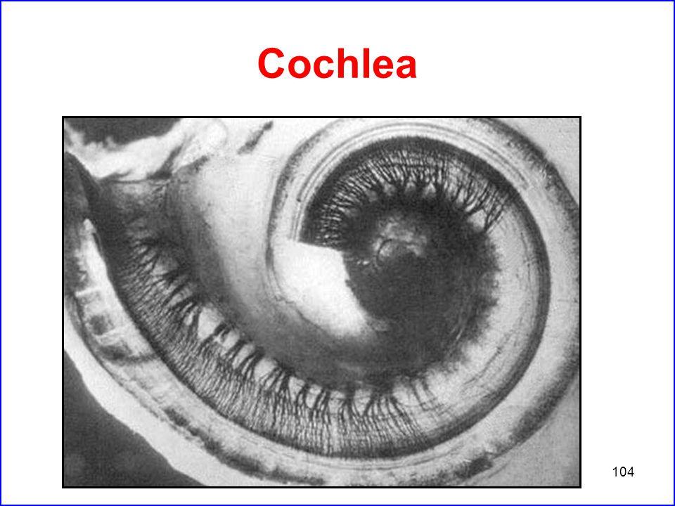 104 Cochlea