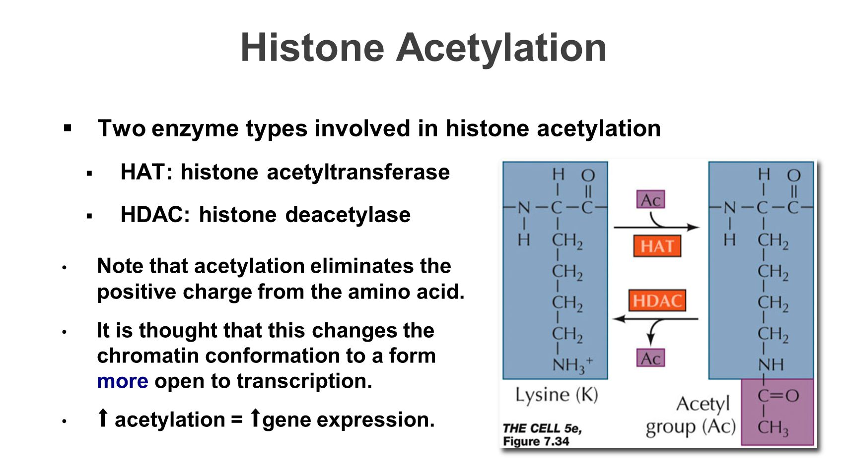 Histone Acetylation  Two enzyme types involved in histone acetylation  HAT: histone acetyltransferase  HDAC: histone deacetylase Note that acetylation eliminates the positive charge from the amino acid.