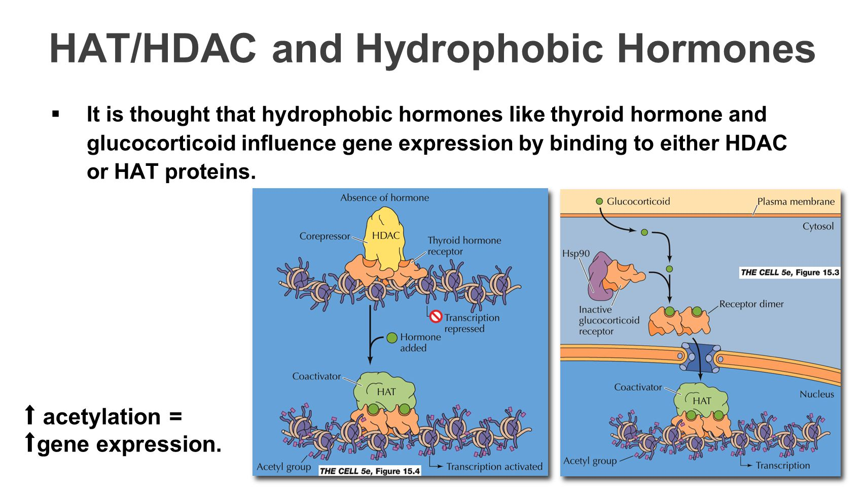 HAT/HDAC and Hydrophobic Hormones  It is thought that hydrophobic hormones like thyroid hormone and glucocorticoid influence gene expression by binding to either HDAC or HAT proteins.