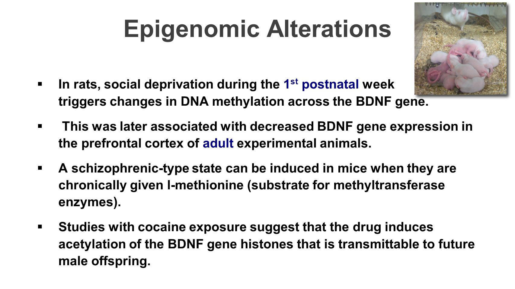 Epigenomic Alterations  In rats, social deprivation during the 1 st postnatal week triggers changes in DNA methylation across the BDNF gene.  This w