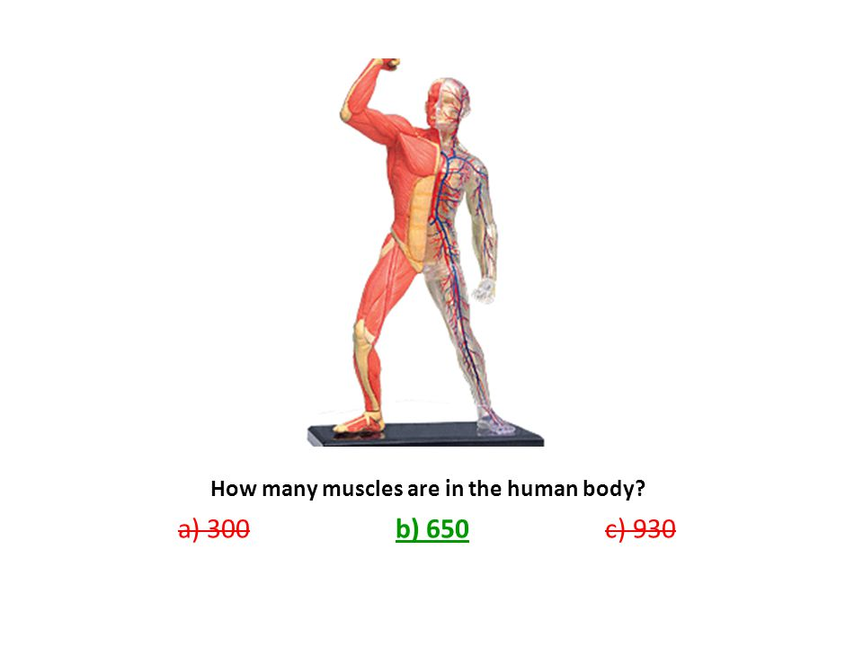 How many muscles are in the human body? a) 300 b) 650 c) 930