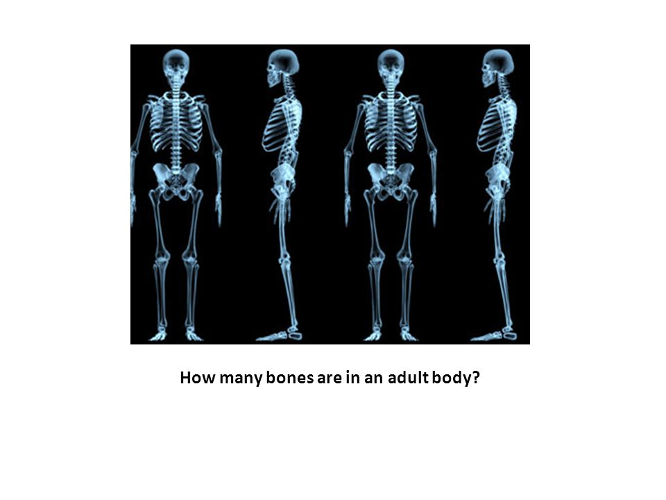 How many bones are in an adult body