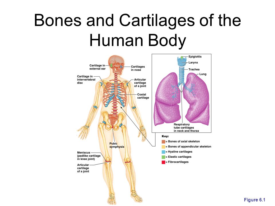 Bones and Cartilages of the Human Body Figure 6.1