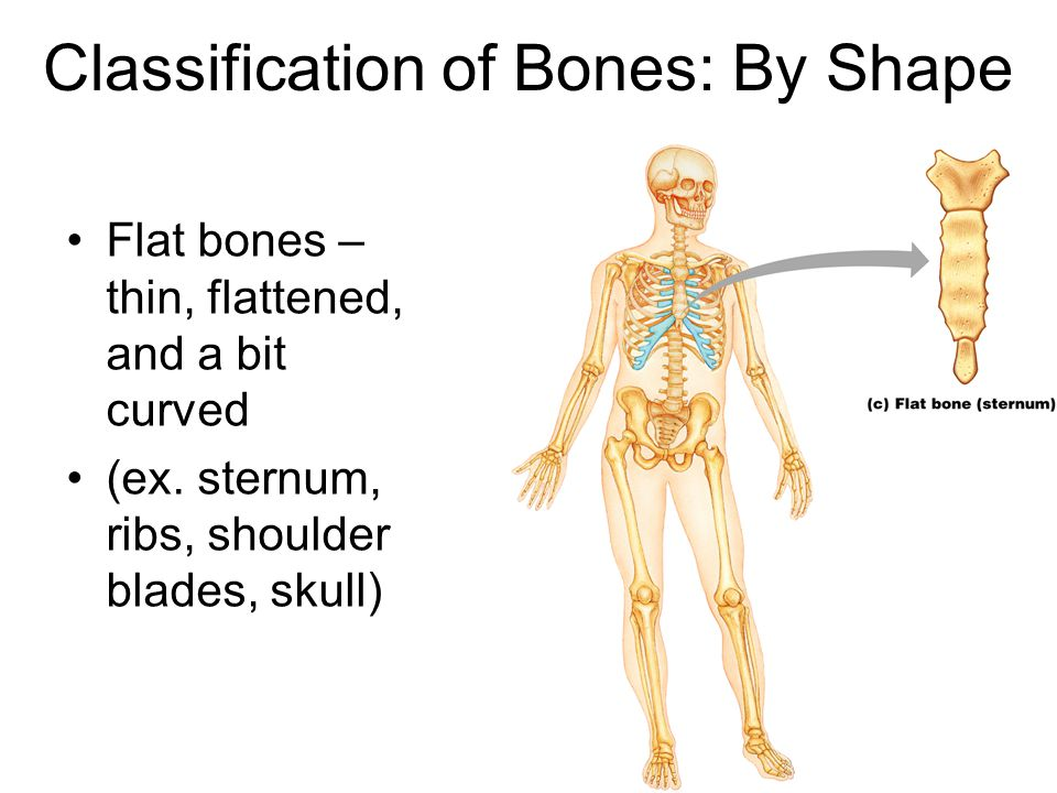 Flat bones – thin, flattened, and a bit curved (ex. sternum, ribs, shoulder blades, skull) Figure 6.2c Classification of Bones: By Shape