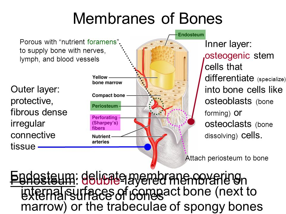 Membranes of Bones Periosteum: double-layered membrane on external surface of bones Inner layer: osteogenic stem cells that differentiate (specialize)
