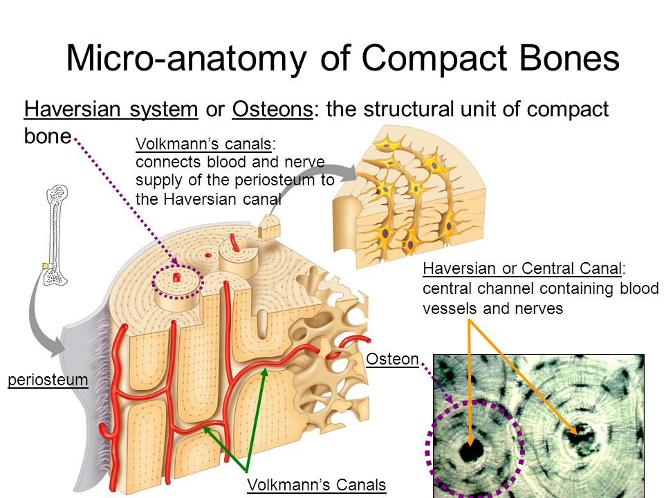 Micro-anatomy of Compact Bones Haversian system or Osteons: the structural unit of compact bone Osteon Haversian or Central Canal: central channel con