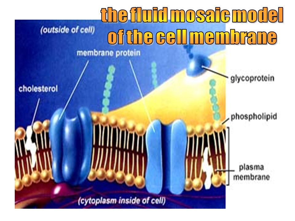 It is like a fluid lipid sandwich with the Hydrophilic heads pointing OUTWARD and the hydrophobic tails pointing inward. The cell membrane also has pr