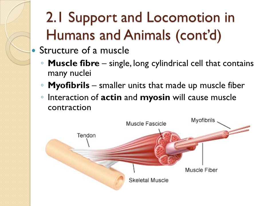 2.1 Support and Locomotion in Humans and Animals (cont'd) Structure of a muscle ◦ Muscle fibre – single, long cylindrical cell that contains many nucl