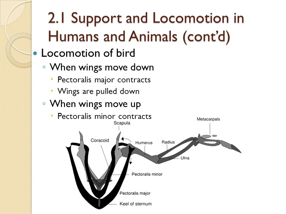 2.1 Support and Locomotion in Humans and Animals (cont'd) Locomotion of bird ◦ When wings move down  Pectoralis major contracts  Wings are pulled do