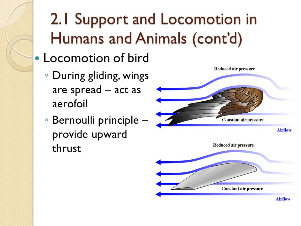 2.1 Support and Locomotion in Humans and Animals (cont'd) Locomotion of bird ◦ During gliding, wings are spread – act as aerofoil ◦ Bernoulli principl