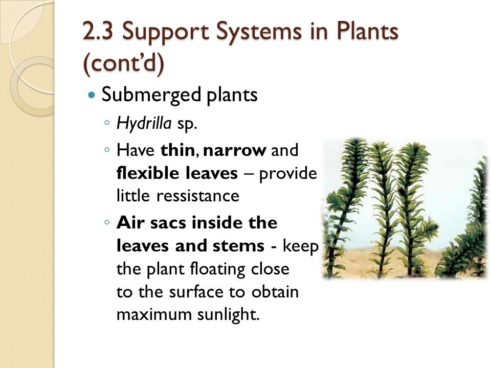 2.3 Support Systems in Plants (cont'd) Submerged plants ◦ Hydrilla sp. ◦ Have thin, narrow and flexible leaves – provide little ressistance ◦ Air sacs
