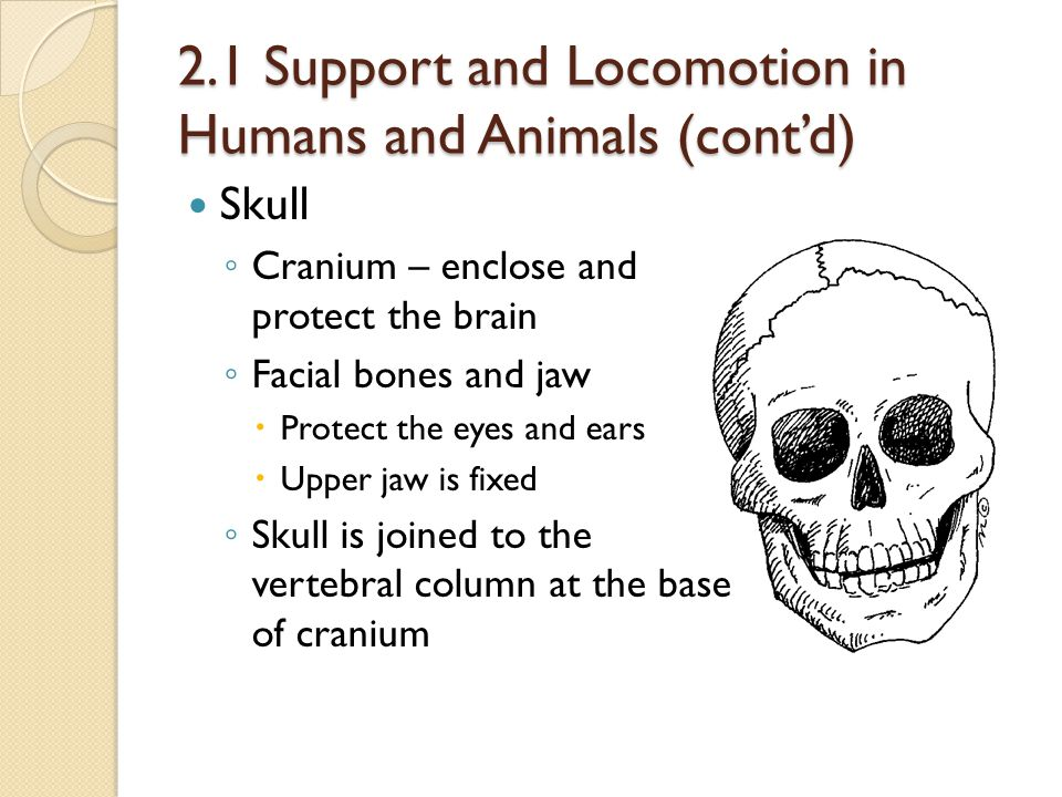 2.1 Support and Locomotion in Humans and Animals (cont'd) Skull ◦ Cranium – enclose and protect the brain ◦ Facial bones and jaw  Protect the eyes an