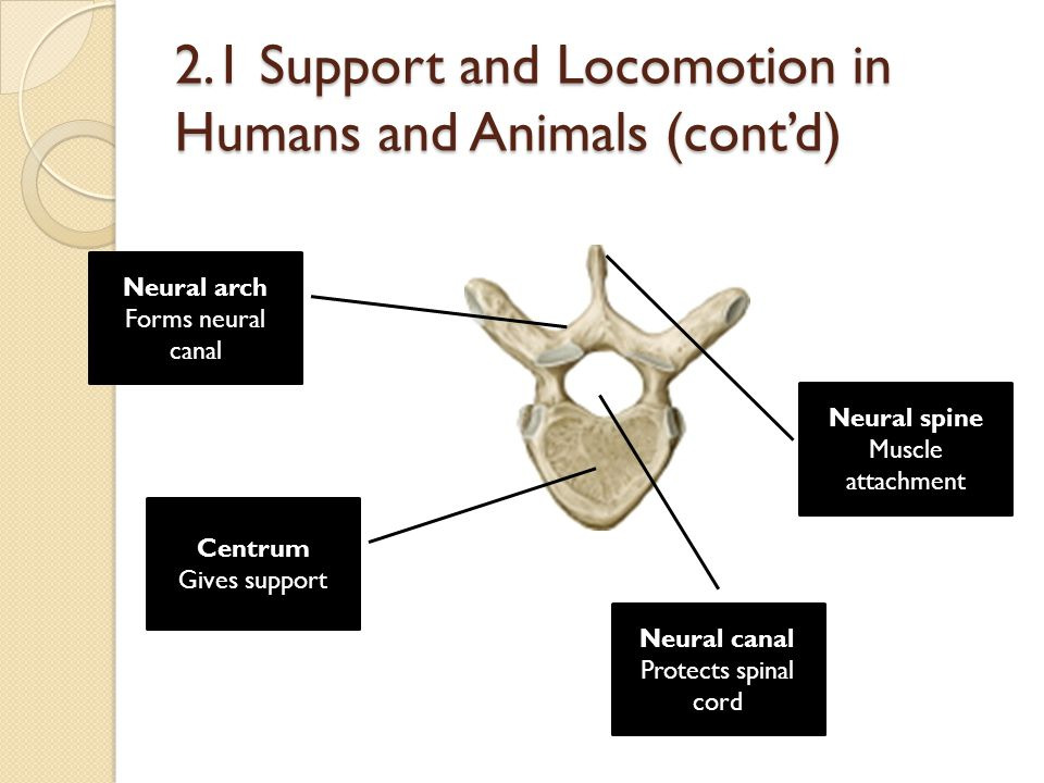 2.1 Support and Locomotion in Humans and Animals (cont'd) Centrum Gives support Neural arch Forms neural canal Neural spine Muscle attachment Neural c